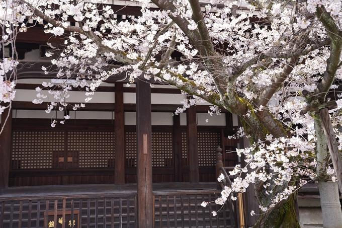 京都_桜_2020_28 本法寺 No18