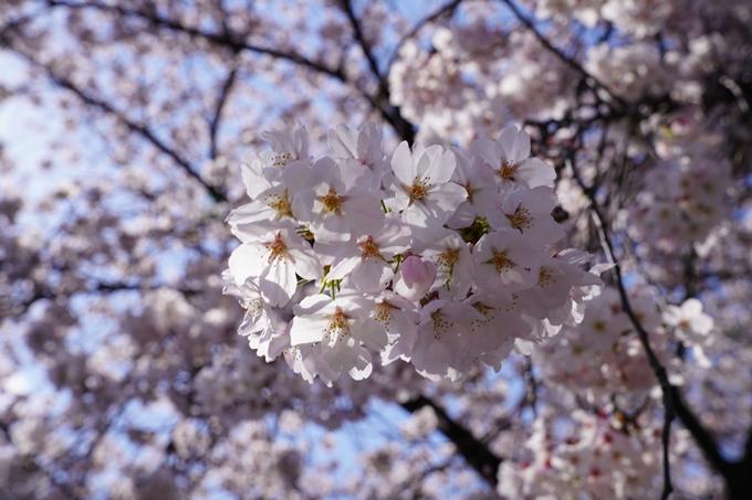 京都_桜_2020_28 本法寺 No19