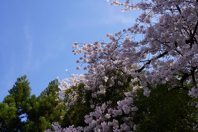 京都_桜_2020_28 本法寺 No21