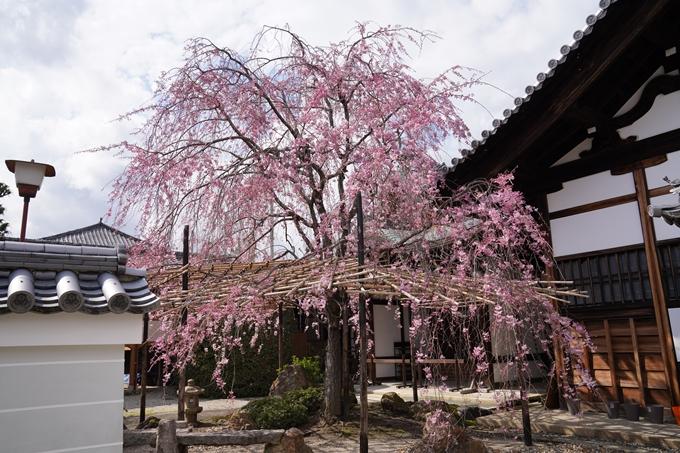 京都_桜_2020_30 妙蓮寺 No5