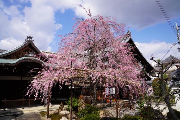 京都_桜_2020_30 妙蓮寺 No10