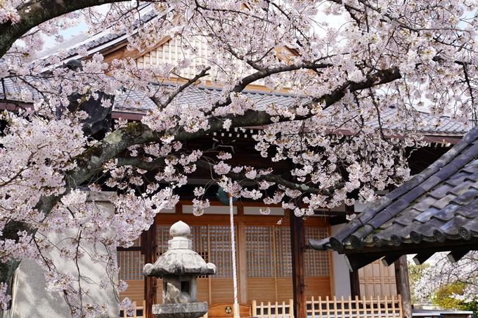 京都_桜_2020_30 妙蓮寺 No16