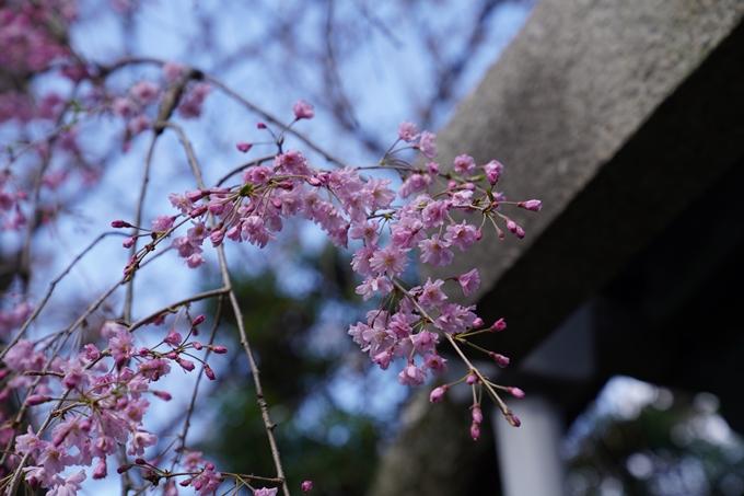 京都_桜_2020_31 雨宝院 No7