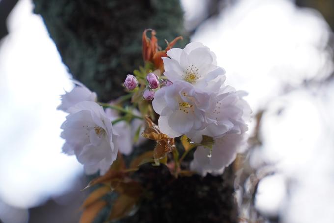 京都_桜_2020_31 雨宝院 No9