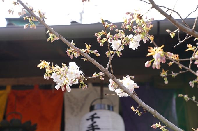 京都_桜_2020_31 雨宝院 No12