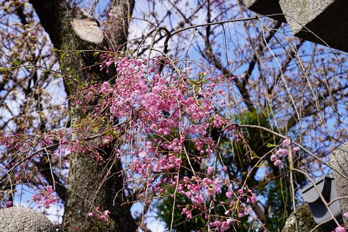 京都_桜_2020_31 雨宝院 No14