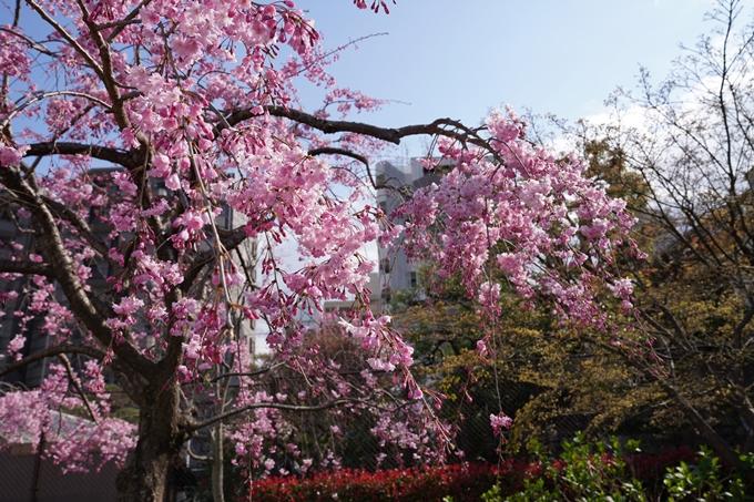 京都_桜_2020_32 桜井公園 No3