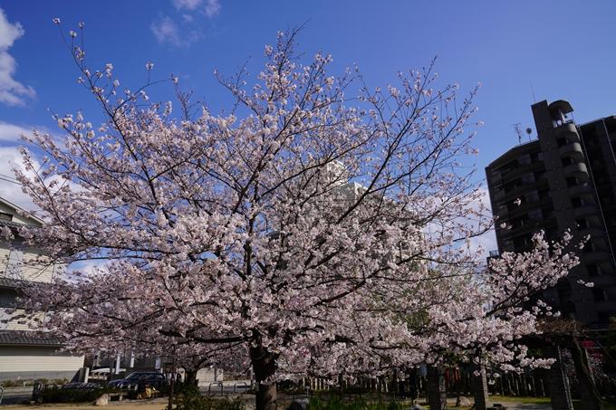 京都_桜_2020_32 桜井公園 No6