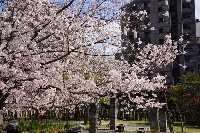 京都_桜_2020_32 桜井公園 No7