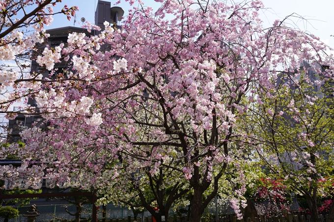 京都_桜_2020_32 桜井公園 No8