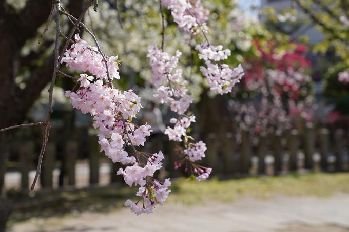 京都_桜_2020_32 桜井公園 No10