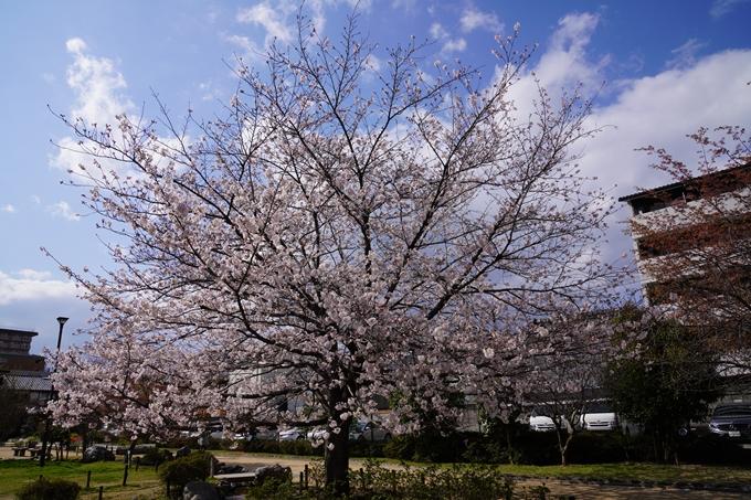 京都_桜_2020_32 桜井公園 No11