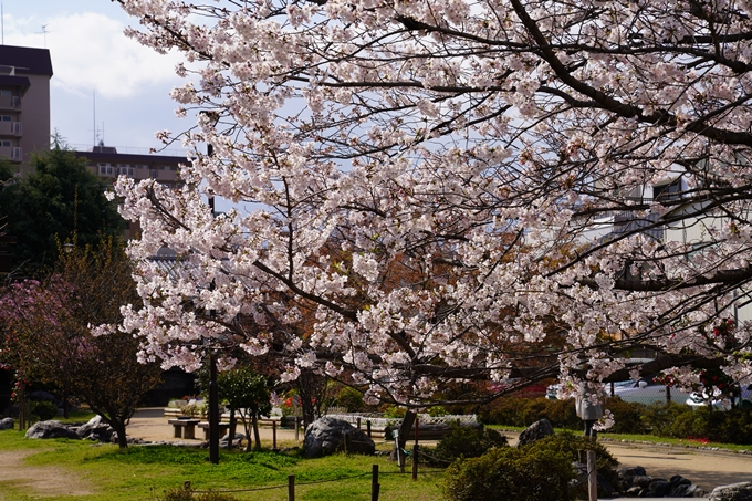 京都_桜_2020_32 桜井公園 No12