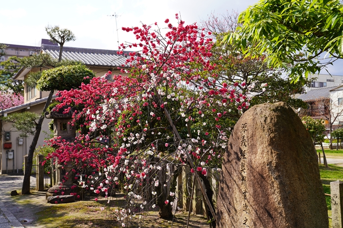 京都_桜_2020_32 桜井公園 No13