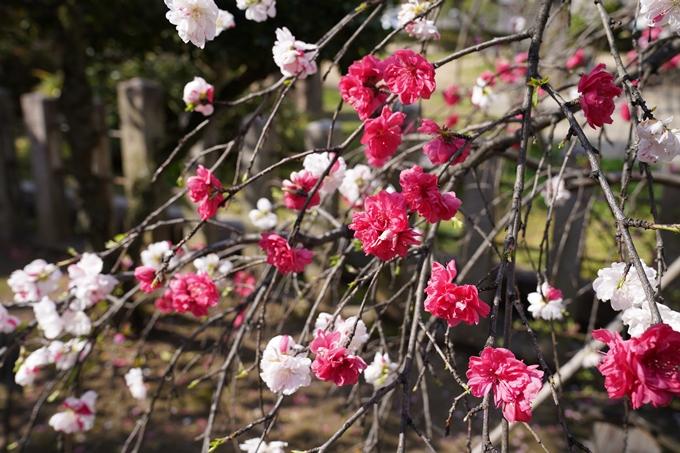 京都_桜_2020_32 桜井公園 No14