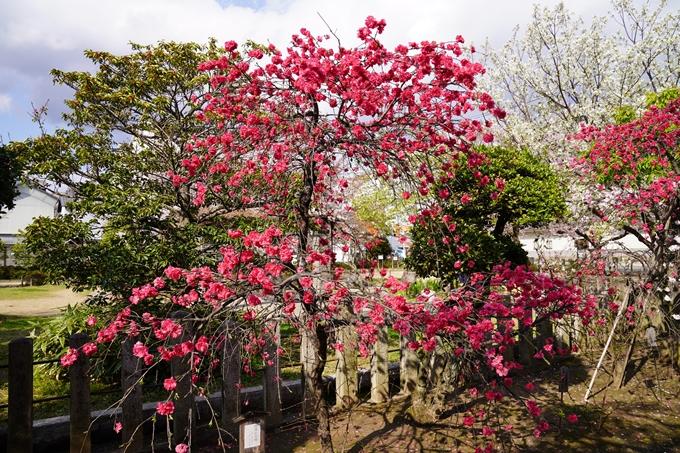 京都_桜_2020_32 桜井公園 No16