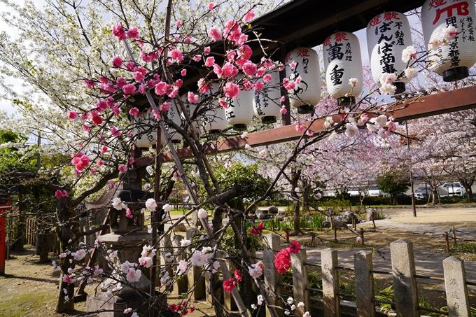 京都_桜_2020_32 桜井公園 No17