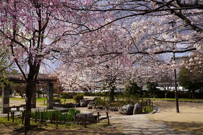 京都_桜_2020_32 桜井公園 No18