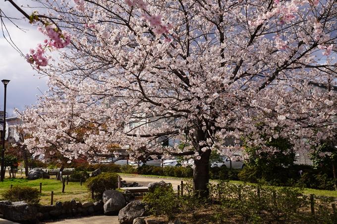 京都_桜_2020_32 桜井公園 No19