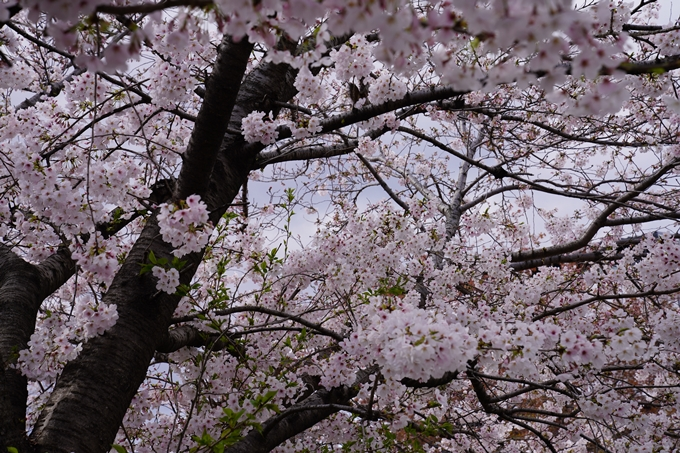 京都_桜_2020_32 桜井公園 No20