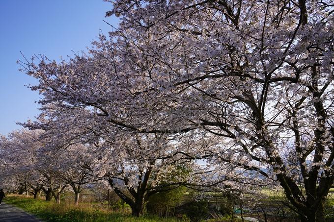 京都_桜_2020_33 大堰川堤防 No2