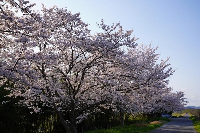 京都_桜_2020_33 大堰川堤防 No6