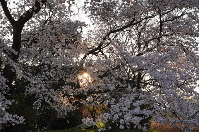 京都_桜_2020_34 出雲大神宮 No15