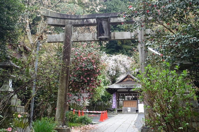 京都_桜_2020_19 大豊神社 No5