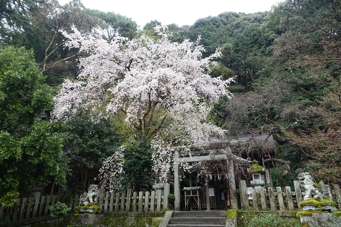 京都_桜_2020_19 大豊神社 No7