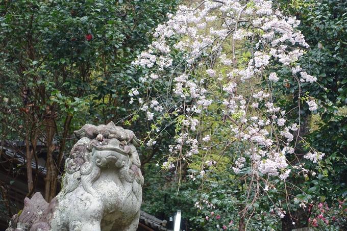 京都_桜_2020_19 大豊神社 No9