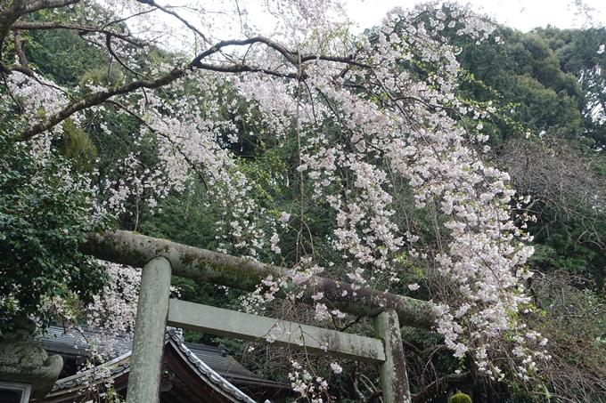 京都_桜_2020_19 大豊神社 No11