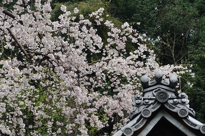 京都_桜_2020_19 大豊神社 No12