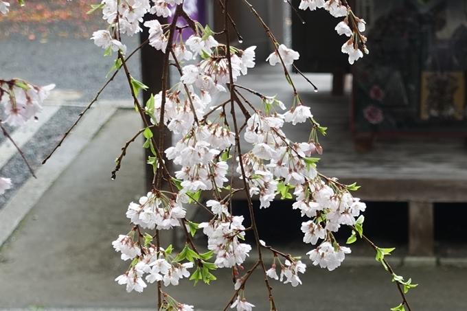 京都_桜_2020_19 大豊神社 No14