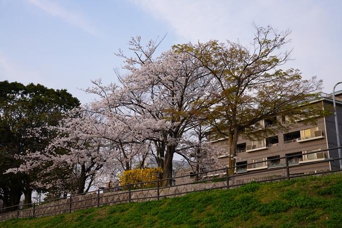 京都_桜_2020_35 鴨川 No2