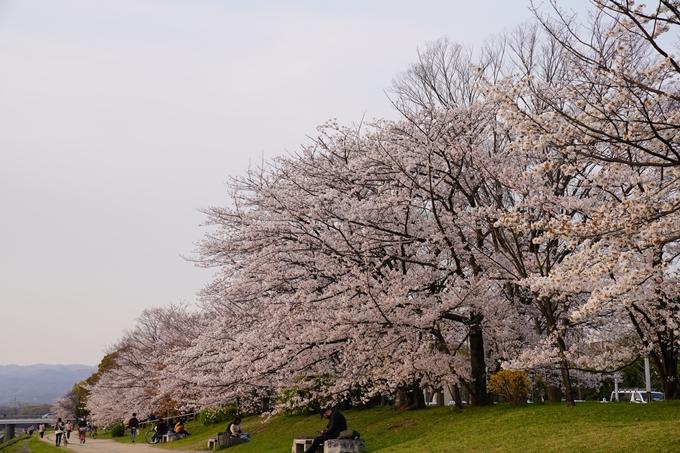 京都_桜_2020_35 鴨川 No3