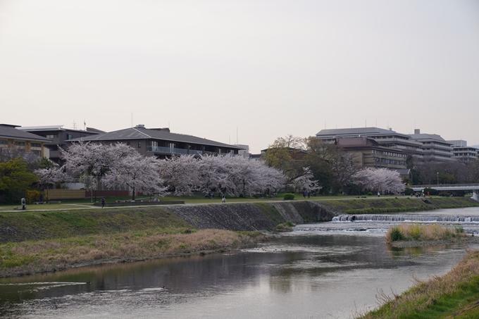 京都_桜_2020_35 鴨川 No4