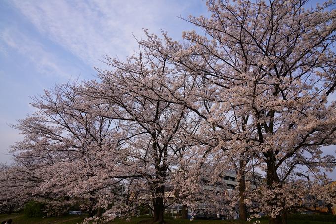 京都_桜_2020_35 鴨川 No5