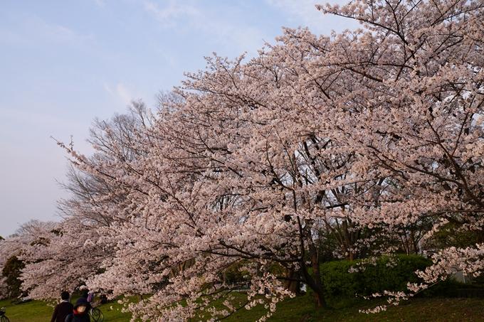 京都_桜_2020_35 鴨川 No6