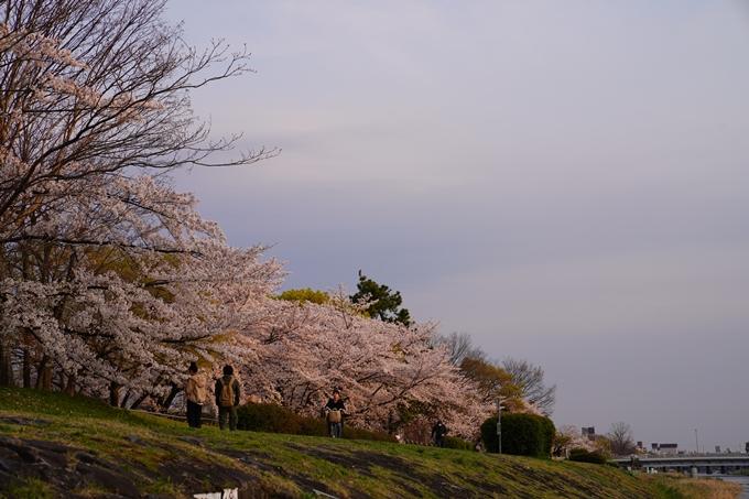 京都_桜_2020_35 鴨川 No9