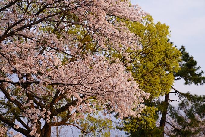 京都_桜_2020_35 鴨川 No11