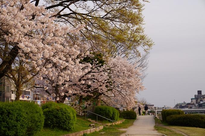 京都_桜_2020_35 鴨川 No12