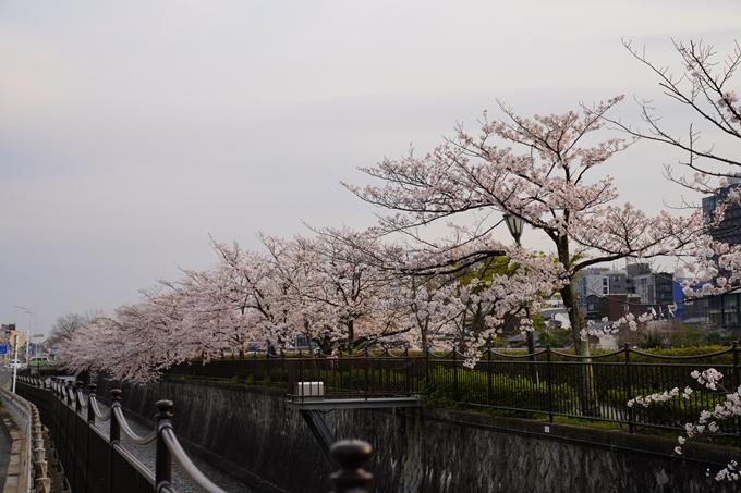 京都_桜_2020_35 鴨川 No13