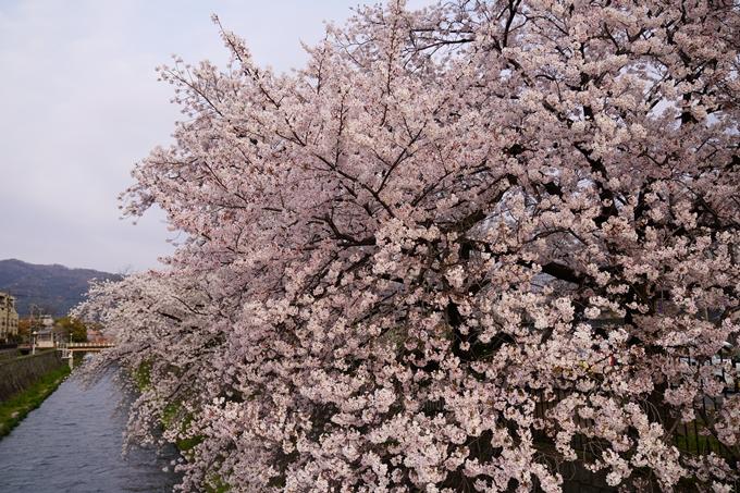 京都_桜_2020_36 疏水西部分 No3