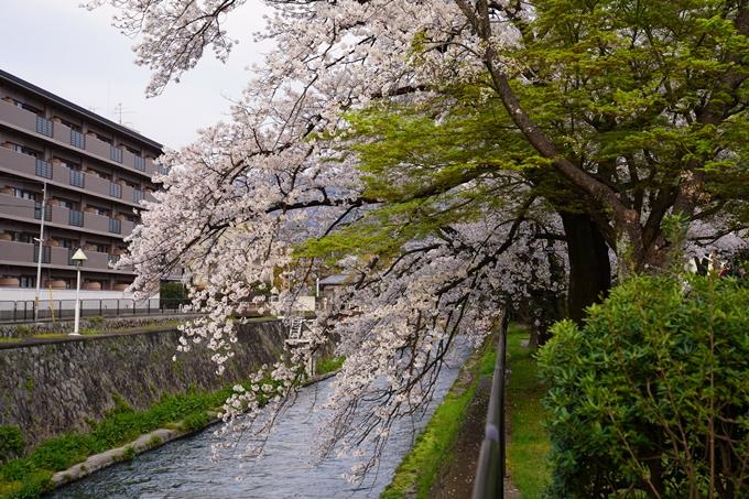 京都_桜_2020_36 疏水西部分 No5