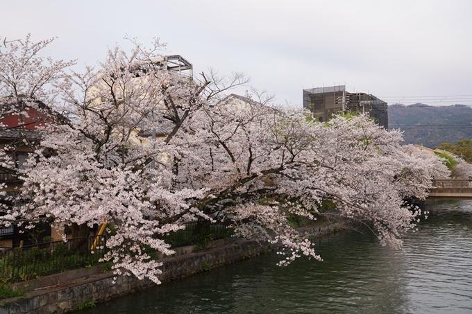 京都_桜_2020_36 疏水西部分 No9