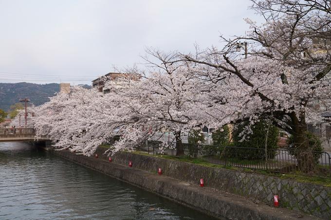 京都_桜_2020_36 疏水西部分 No11