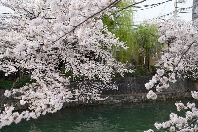 京都_桜_2020_36 疏水西部分 No12