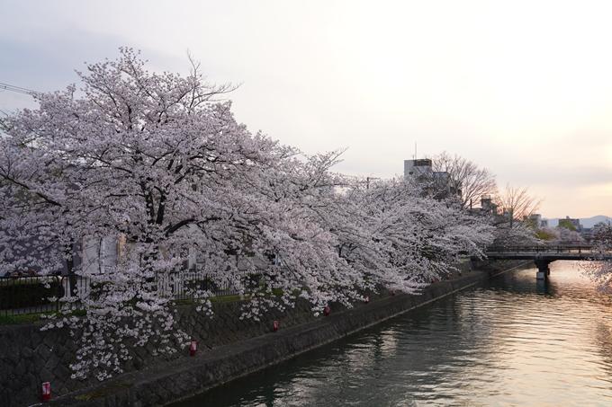 京都_桜_2020_36 疏水西部分 No13