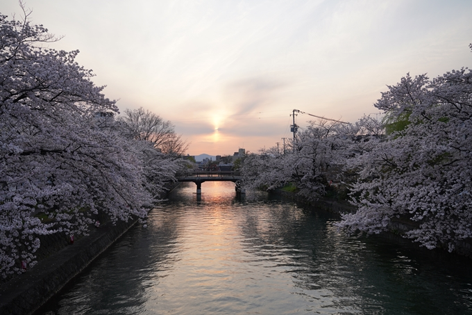 京都_桜_2020_36 疏水西部分 No14