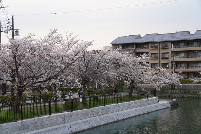 京都_桜_2020_36 疏水西部分 No17